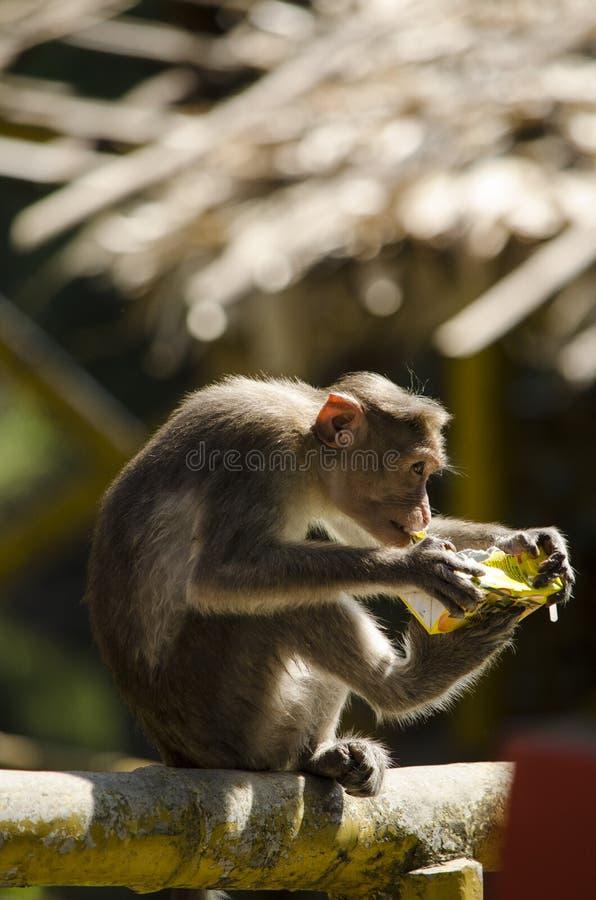 图象帽子短尾猿猴子饮用的汁液 免版税库存图片