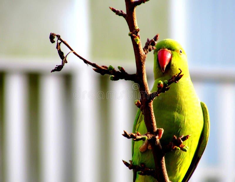 圆环收缩的长尾小鹦鹉在阿姆斯特丹 免版税库存照片