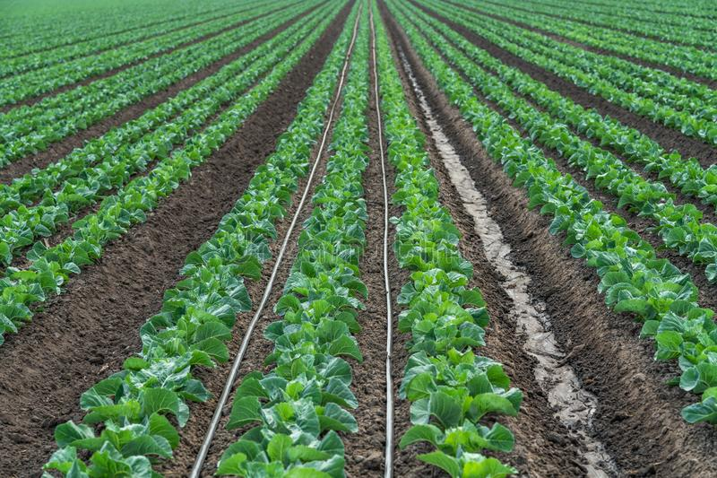 圆白菜厂,供水系统,喷灌的农业领域 免版税库存照片
