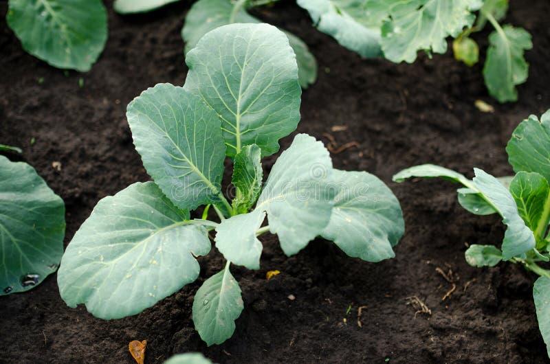 圆白菜发芽,圆白菜沙拉,圆白菜治疗 免版税库存图片