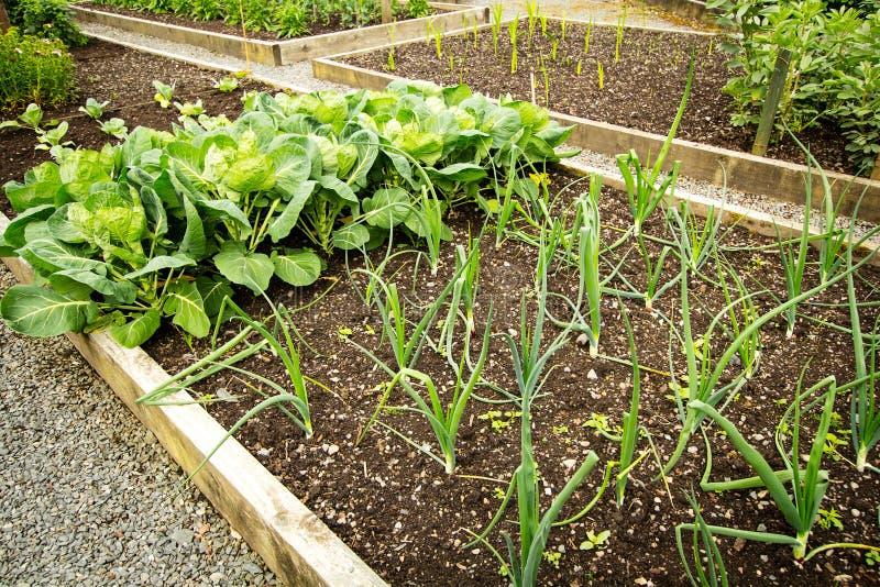 圆白菜和其他蔬菜栽培在庭院里 免版税库存图片