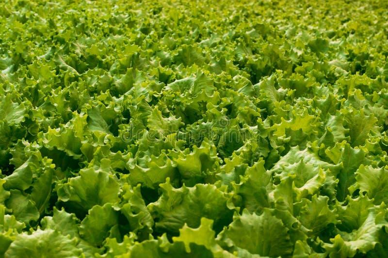 圆白菜和莴苣的生产在一个工业规模 素食者食物背景和墙纸  库存照片