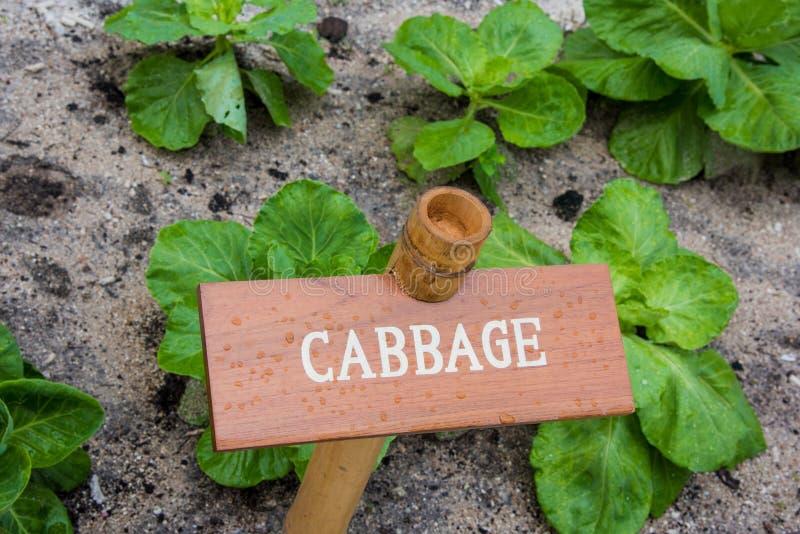 圆白菜在庭院里 免版税库存图片