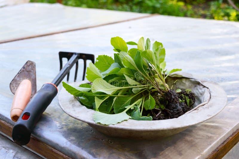 圆白菜年轻新芽在一个老葡萄酒碗和园艺工具的在自然 种植在开放地面的幼木 春天夏天 免版税库存图片