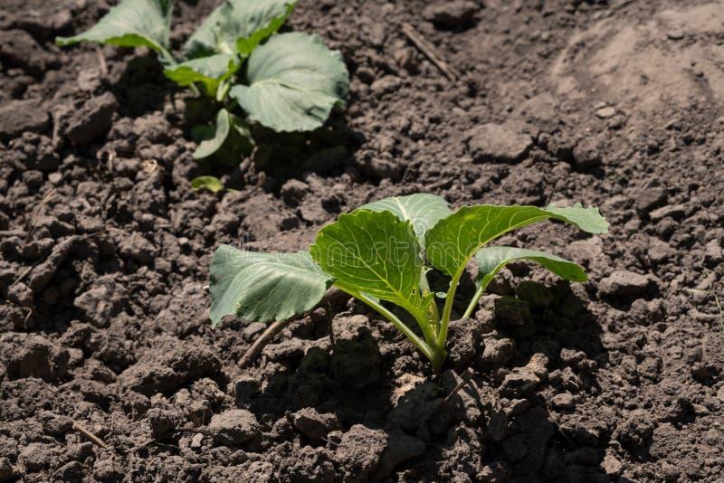 圆白菜年轻新芽  圆白菜幼木在庭院里 温室植物,幼木自温室,选择聚焦,迷离 库存图片