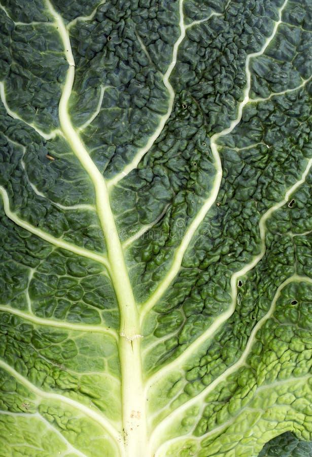 圆白菜新鲜的叶子开胃菜 库存图片