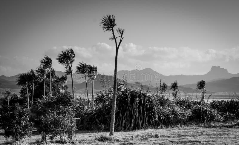 圆白菜树Cordyline极光生长在Coromandel半岛,新西兰 免版税库存图片