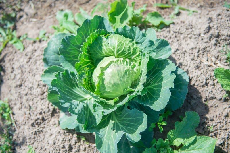 圆白菜种植园在庭院里,在一好日子 在庭院床上的成熟有机圆白菜 库存照片
