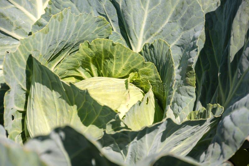圆白菜背景头  增长的植物 库存图片