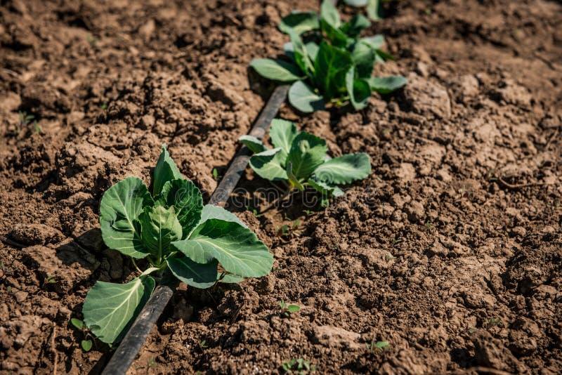 圆白菜菜领域农场在春天太阳 叶子的细节 库存图片