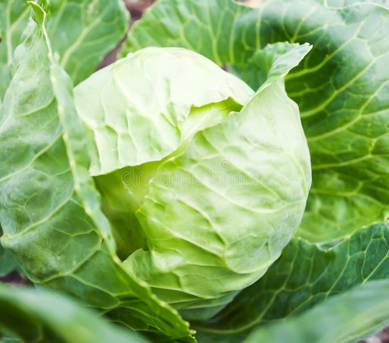 圆白菜顶头生长在菜床上 库存照片