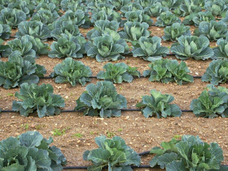 圆白菜领域耕种 免版税库存图片
