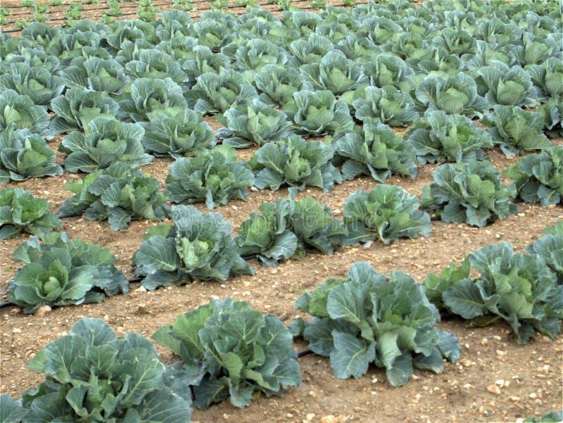 圆白菜领域耕种 免版税库存照片