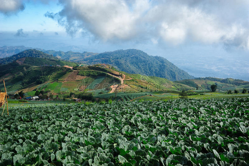 圆白菜领域风景  免版税库存照片