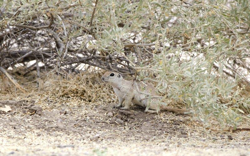 圆的被盯梢的地松鼠, Sweetwater沼泽地,图森亚利桑那沙漠 免版税库存图片