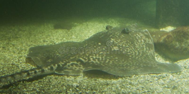 圆的黄貂鱼鱼放置在水族馆的底部的,海洋生物画象 图库摄影