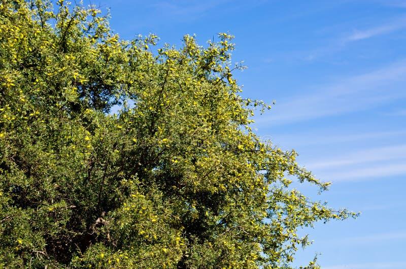 圆筒芯的灯树用黄色果子 免版税库存照片