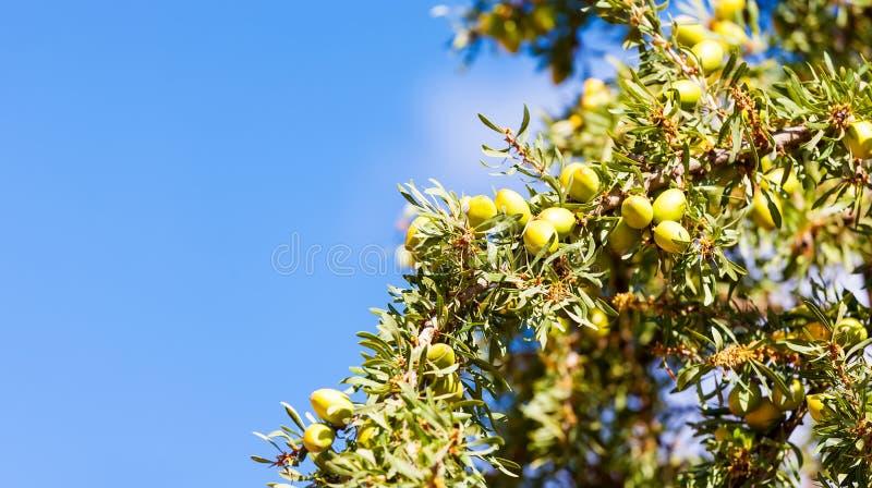 圆筒芯的灯结果实在圆筒芯的灯树Argania spinos的分支的坚果 免版税图库摄影