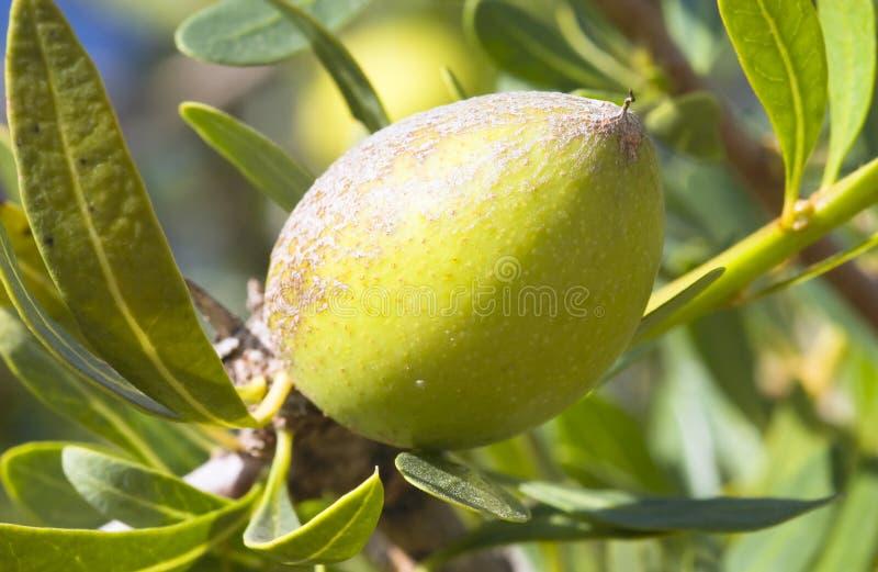 圆筒芯的灯argania果子spinosa结构树 免版税库存照片