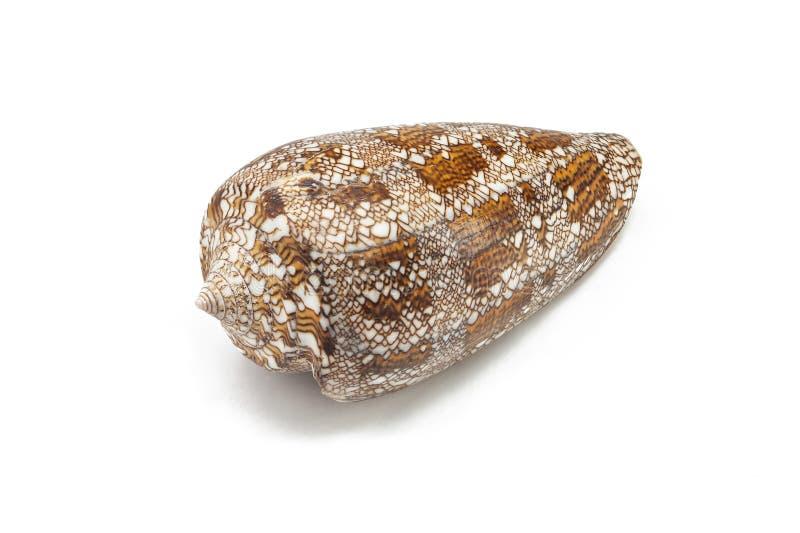 圆锥aulicus,王侯的锥体,掠食性海洋蜗牛,锥体壳,棕色与在白色背景海洋海军陆战队员seashe的白海壳 库存图片