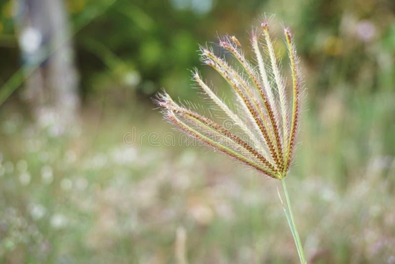 圆鼓的手指草或虎尾草属barbata花在自然庭院里 免版税库存图片