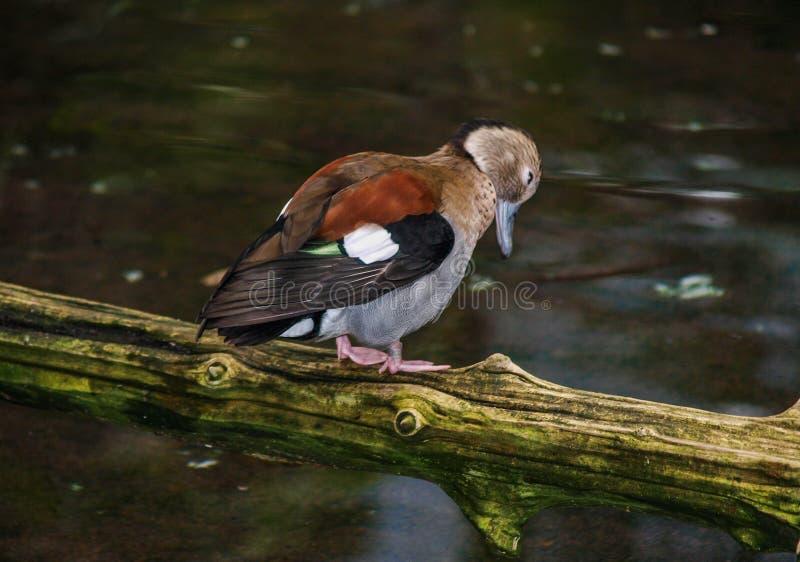 圈状的小野鸭鸭子Callonetta leucophrys 免版税图库摄影