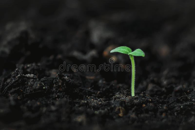 土壤上的大麻植物生长 免版税图库摄影