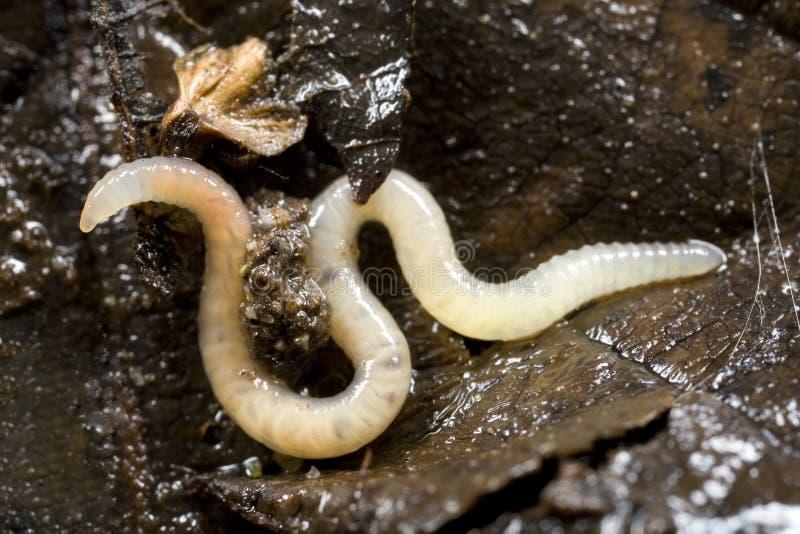 土壤白色蠕虫 库存图片