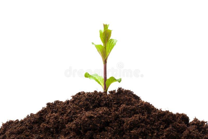 从土壤的新芽 库存照片