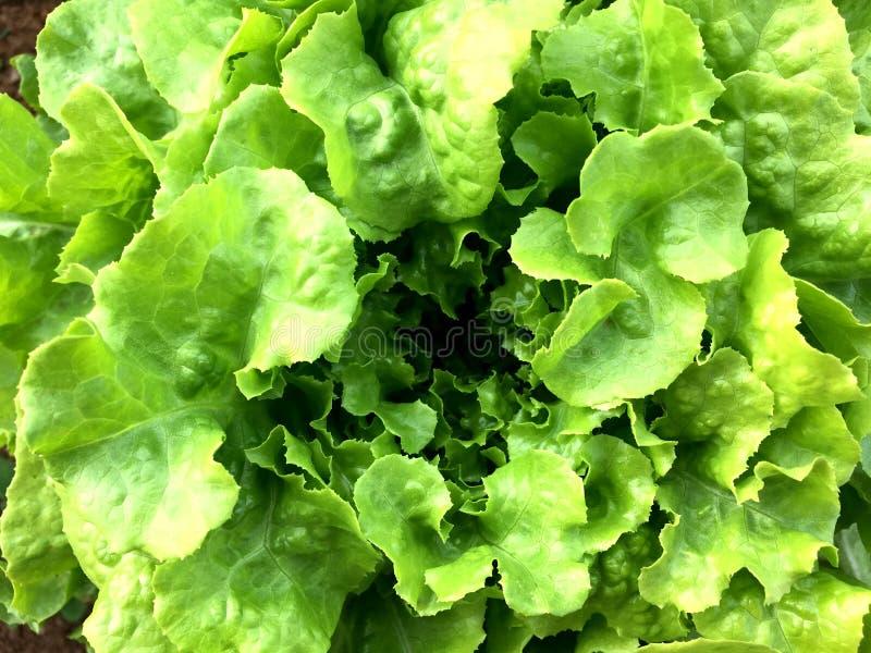 土壤的新鲜的绿色橡木莴苣植物在庭院里 有机蔬菜 库存照片