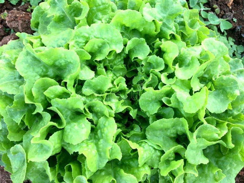 土壤的新鲜的绿色橡木莴苣植物在庭院里 有机蔬菜 库存图片