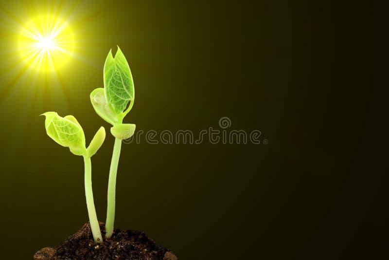 土壤的年轻生长植物在阳光下在黑背景中 免版税库存图片图片