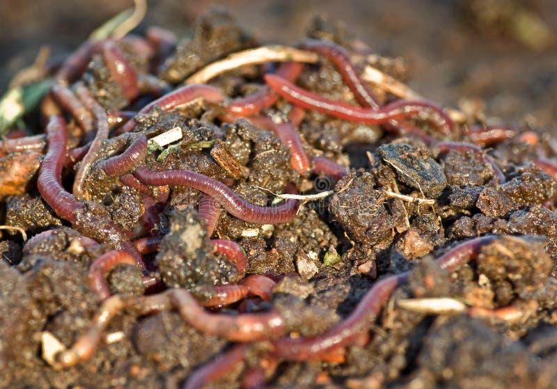 土庭院蠕虫 免版税库存照片