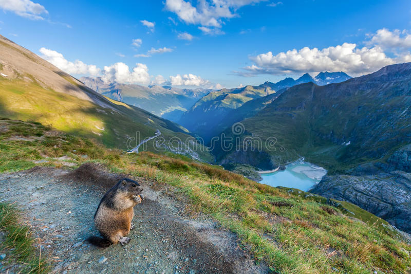 土拨鼠在奥地利阿尔卑斯 免版税库存照片
