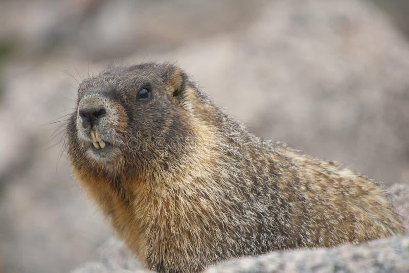 Download 土拨鼠 库存照片. 图片 包括有 本质, 毛皮, 水平, 纵向, browne, 科罗拉多, 岩石, 关闭 - 72359356