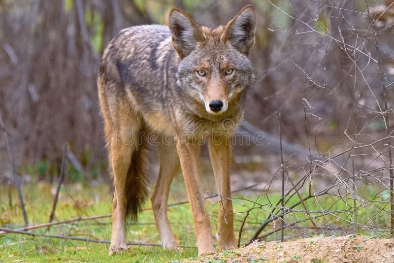土狼在吉勒特Ranch国王的死亡凝视 库存图片