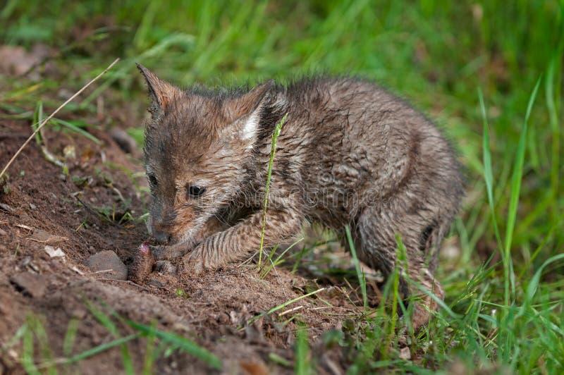土狼小狗(犬属latrans)开掘被埋没的肉片 库存图片