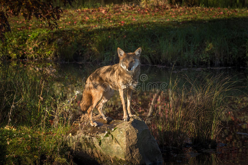 土狼犬属latrans凝视从岩石 库存图片
