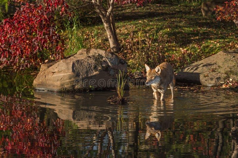 土狼犬属latrans在水中站立 免版税库存图片