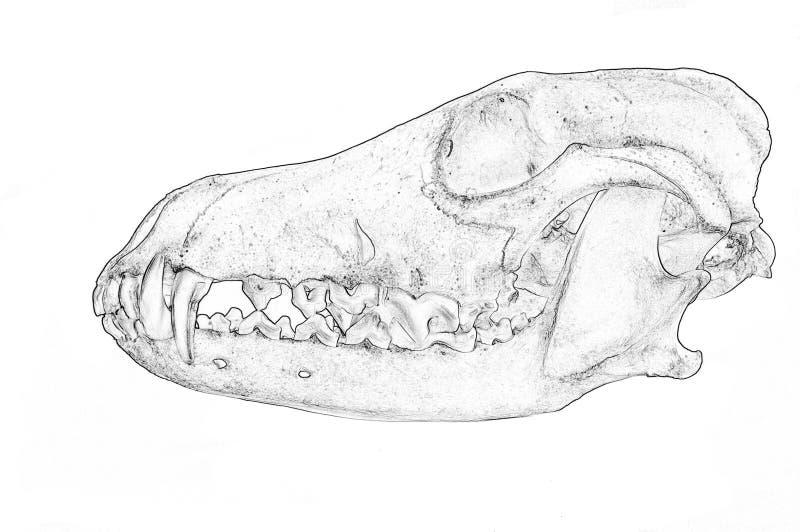 土狼犬属Latrans的头骨 图库摄影