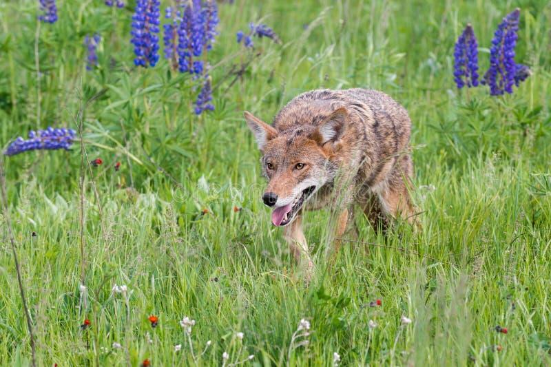 土狼犬属latrans通过草四处觅食 免版税库存照片