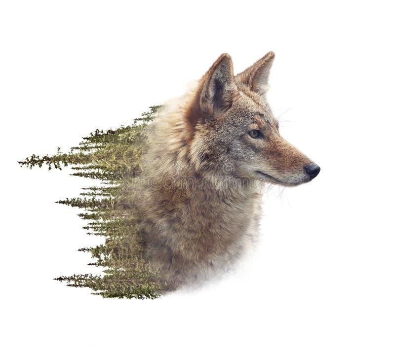 土狼画象和杉木森林两次曝光  图库摄影