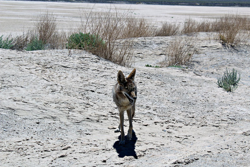 土狼,死亡谷 图库摄影