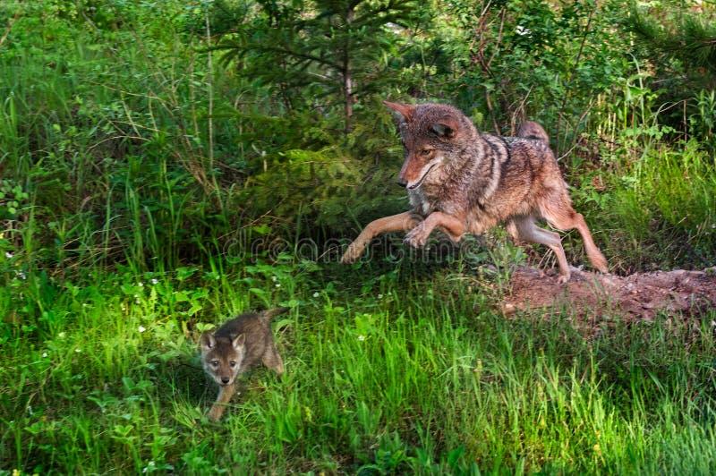 土狼(犬属latrans)在小狗-在行动的小狗以后突袭 库存照片