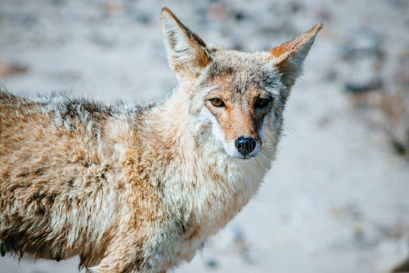 土狼(犬属latrans)在死亡谷 免版税库存照片