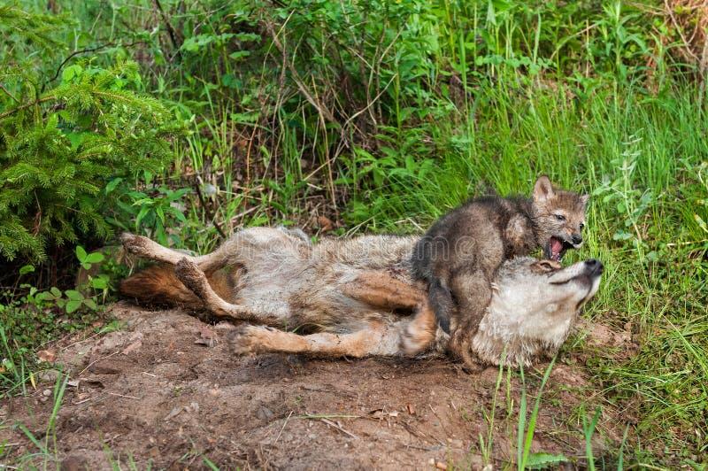 土狼(犬属latrans)小狗使用与成人 免版税库存图片