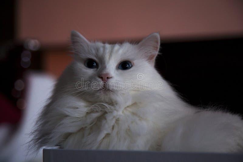 土耳其安哥拉猫猫 免版税库存图片