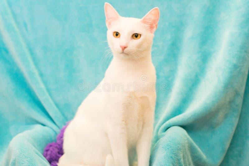 土耳其安哥拉猫猫 库存照片