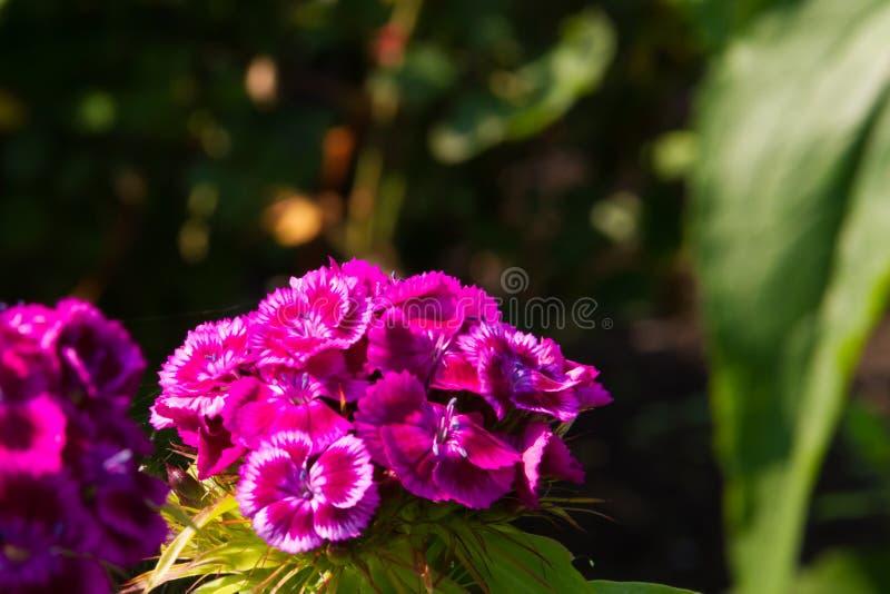 土耳其康乃馨美丽的花在夏天晴朗的庭院里 库存图片