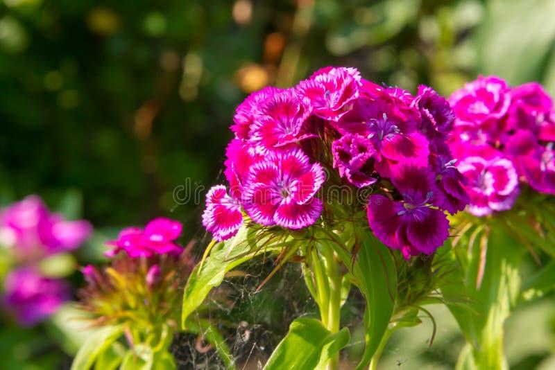 土耳其康乃馨美丽的花在夏天晴朗的庭院里 免版税库存图片